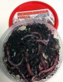 Kompostwürmer, Gartenwürmer, Regenwürmer ca. 40 Stück